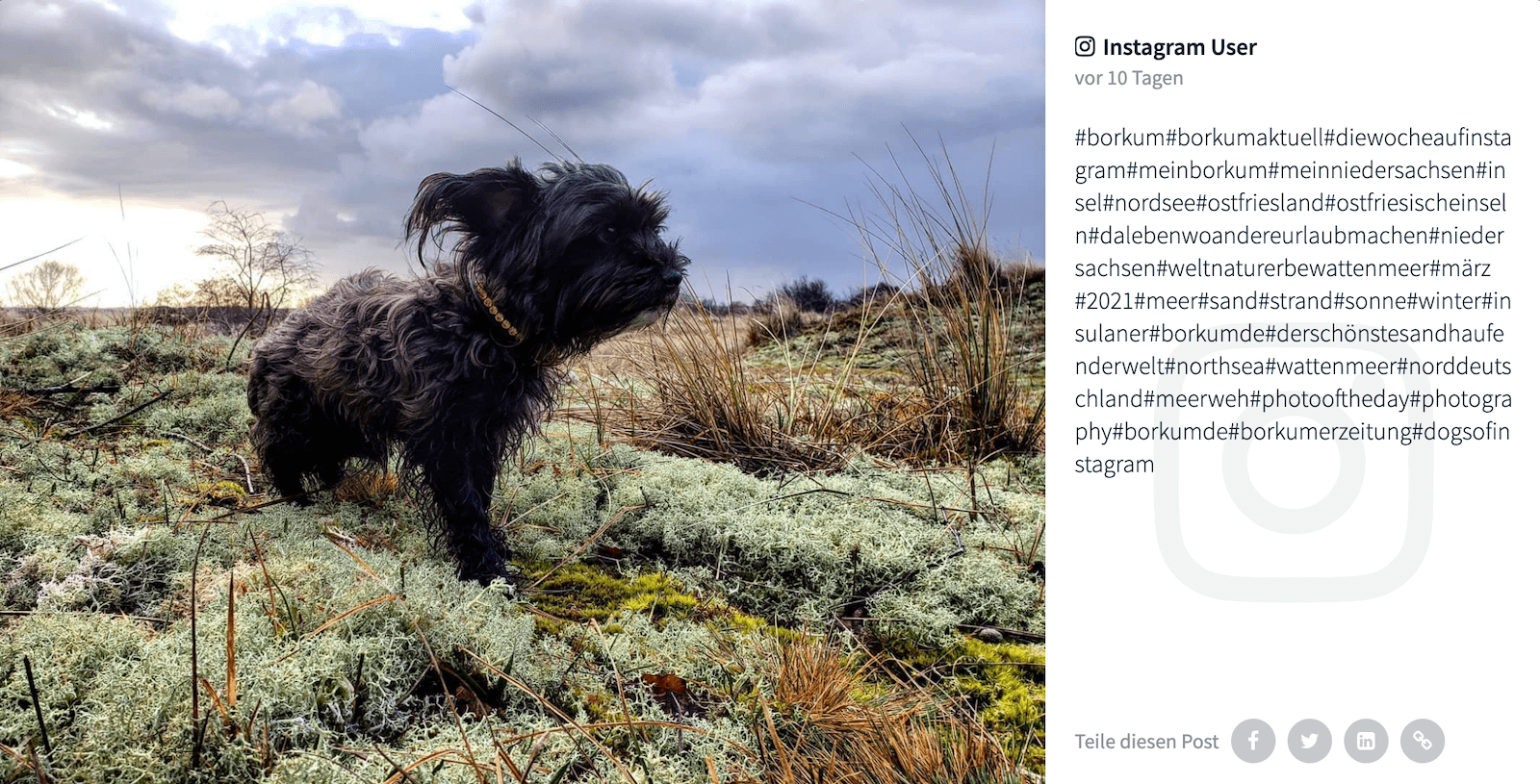 Instagram post by user inseldini1975 shows a small and scruffy black dog, slightly windswept, standing among lichen and greens on the dunes and looking off into the distance. One of the many hashtags used in the caption is #MeinBorkum.